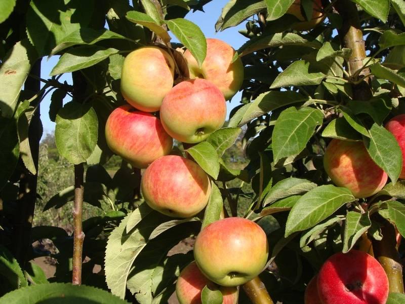 Колоновидная яблоня – сорт Джин