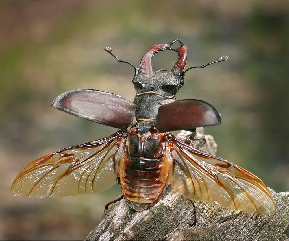 Крылья и надкрылья жука-оленя