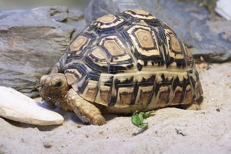 Леопардовая черепаха (пантеровая) Geochelone pardalis