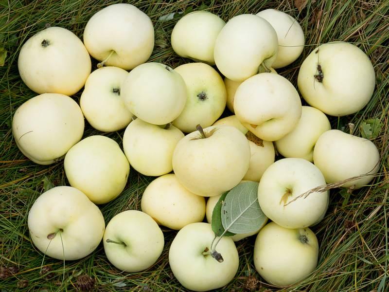 Летний сорт яблони Белый налив