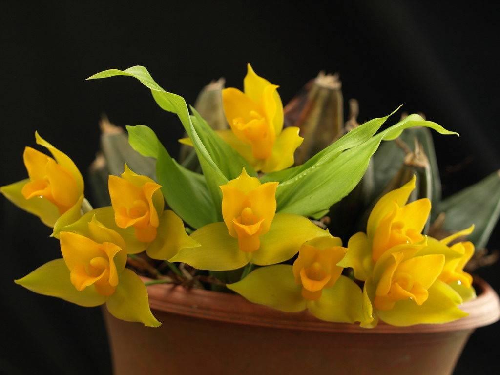 Ликаста душистая «Золотая» (Lycaste aromatica)