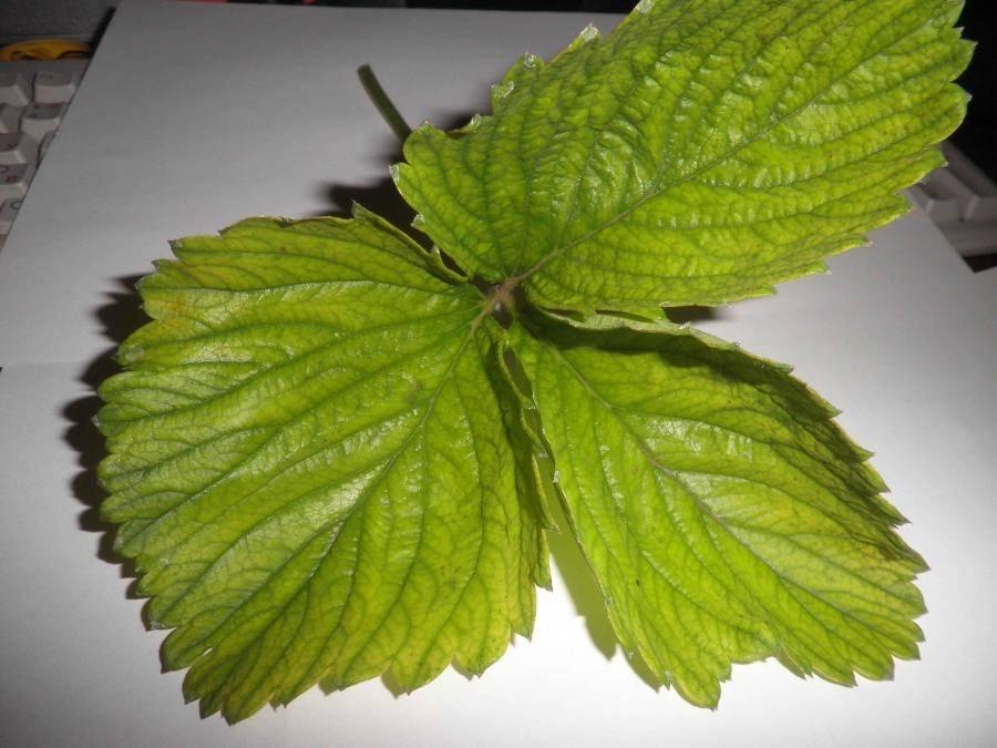 Листья клубники фото