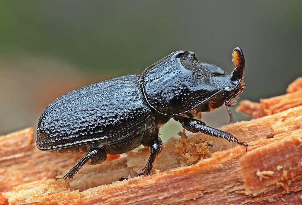 Малый носорог (рогач однорогий) (Sinodendron cylindricum) (самец)