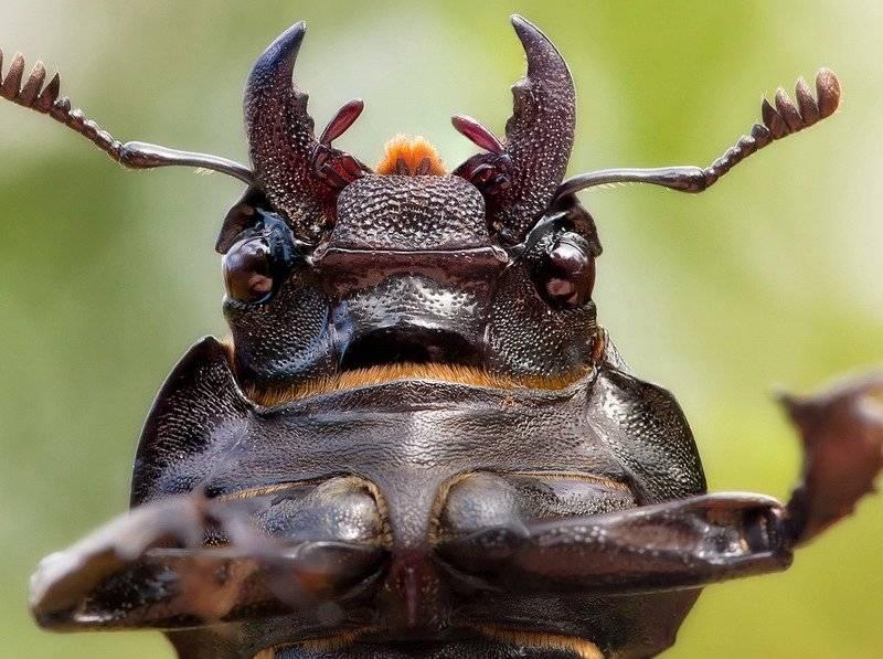 Мандибулы самки жука-оленя