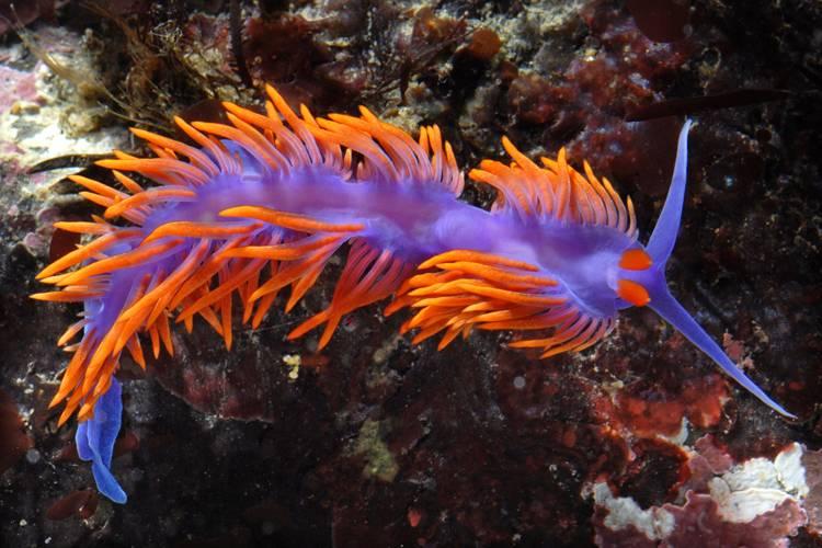 Морская улитка Flabellina iodinea