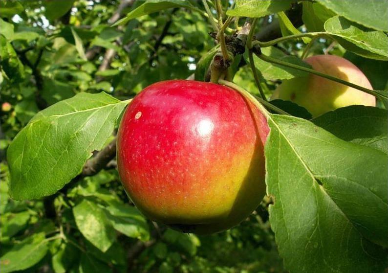 Низкозимостойкий сорт яблони Квинти