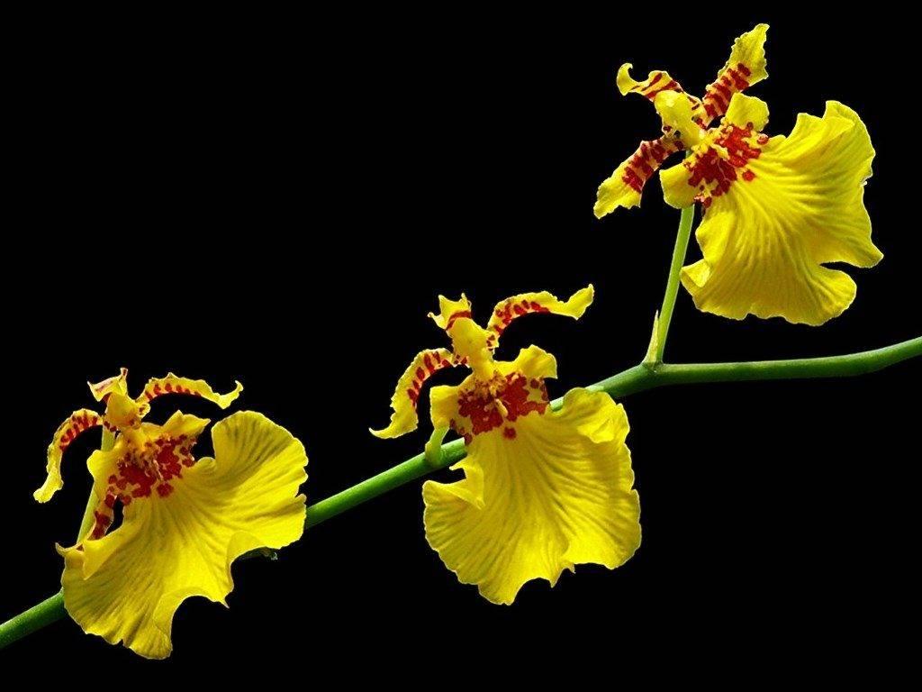 Онцидиум бородавчатый (лат.Oncidium varicosum)