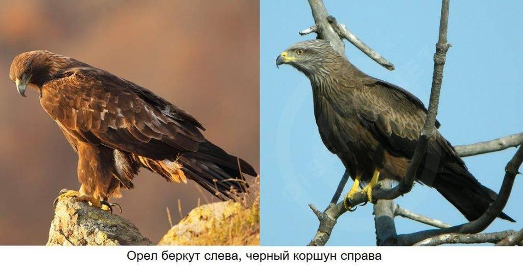 Орел и коршун отличия