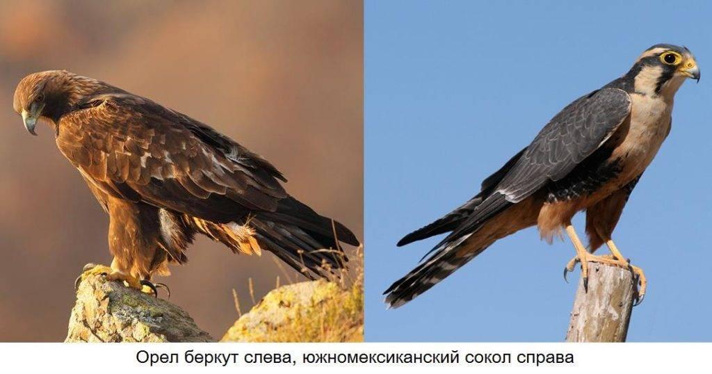 Орел и сокол отличия