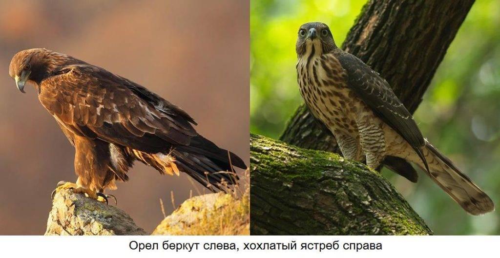 Орел и ястреб отличия