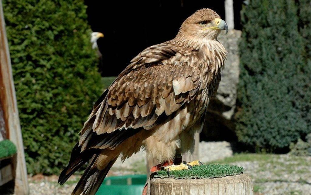 Орел могильник Aquila heliaca