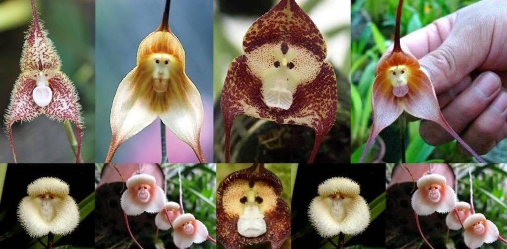 Орхидеи рода Дракула (Dracula simia)