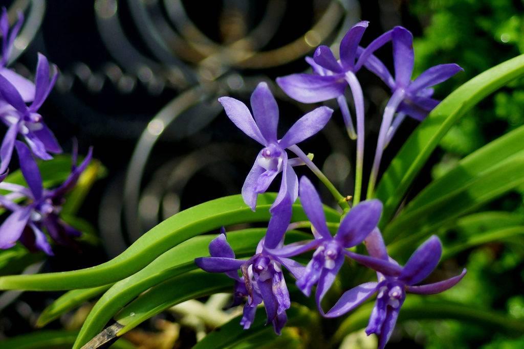 Орхидея Дарвинара (Darwinara)