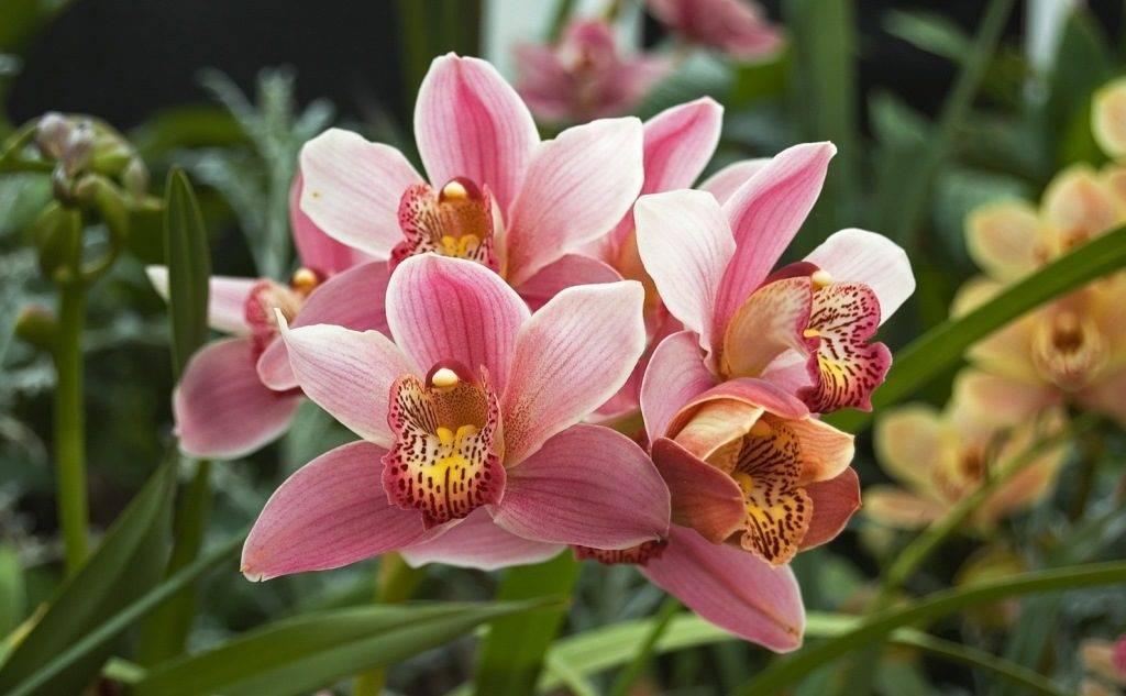Орхидея Цимбидиум (Cymbidium)