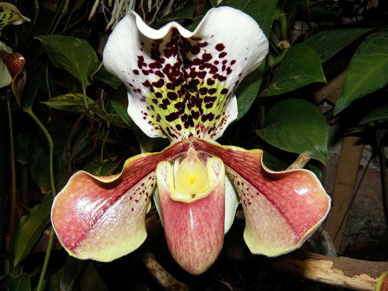 Орхидея башмачок