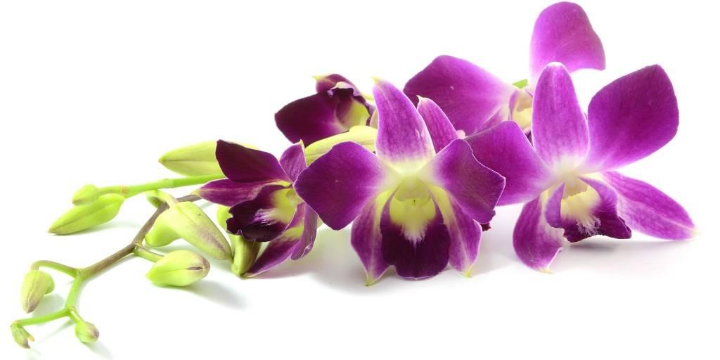 Вьетнамская орхидея основные характеристики