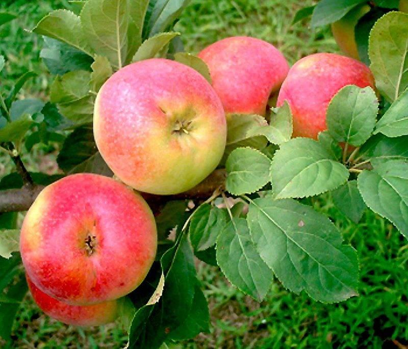 Осенний сорт яблони Балтика