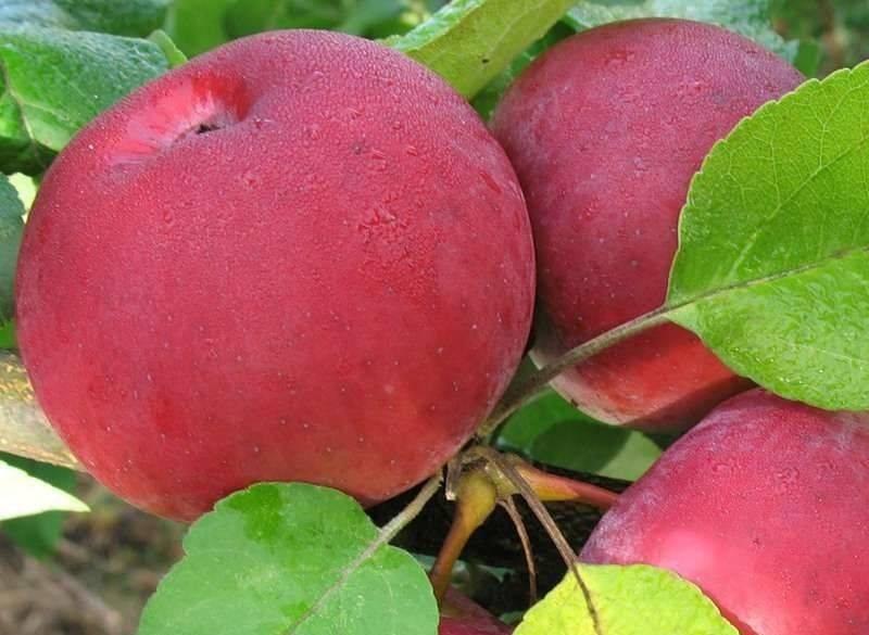 Осенний сорт яблони Орловская гирлянда