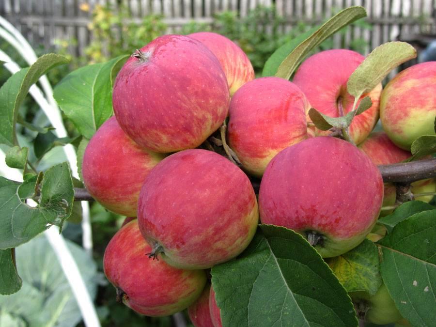 Осенний сорт яблони Уралец