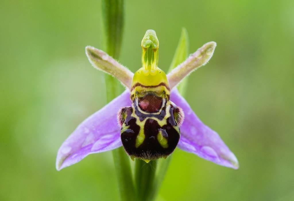 Офрис пчелоносная