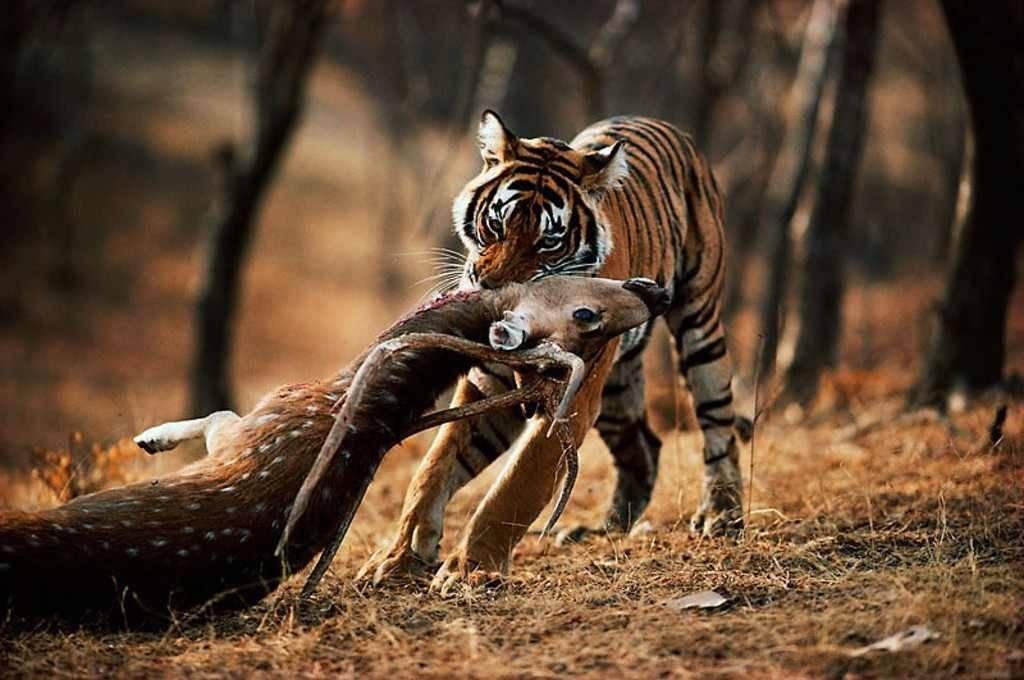 Пища тигров