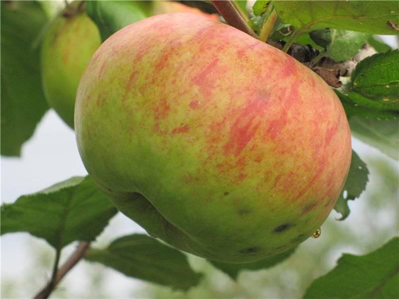 Позднеплодный сорт яблони Штрейфлинг
