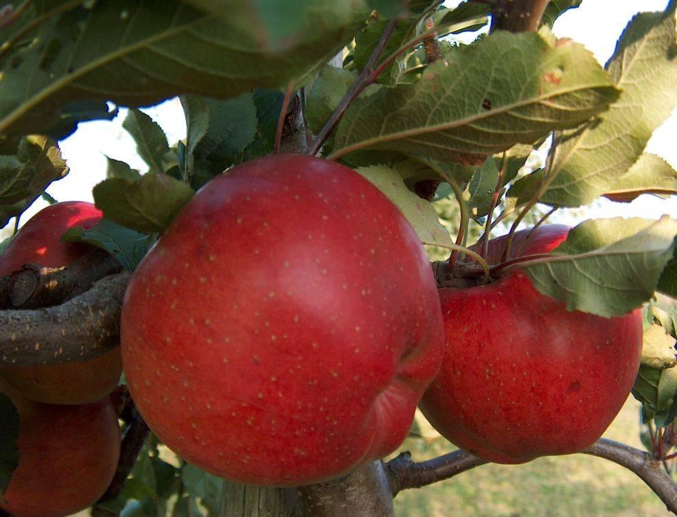 Полукарликовый сорт яблони Мелроуз