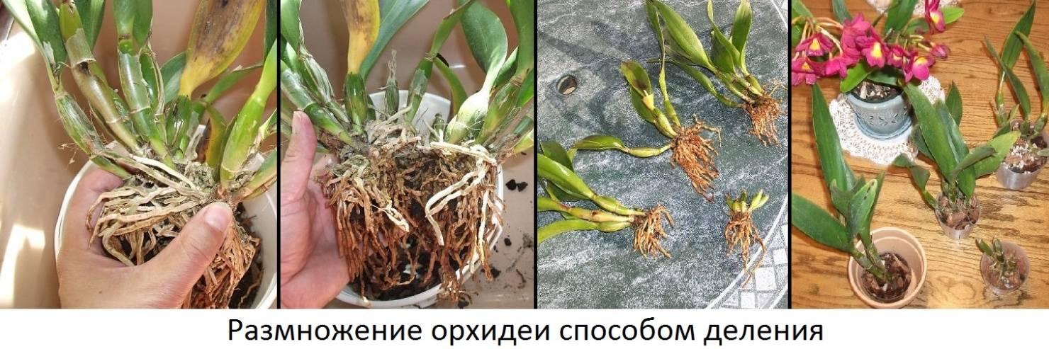 Орхидеи в домашних условиях чем размножаются