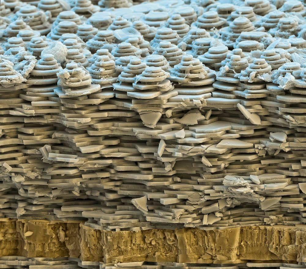 Раковина улитки под микроскопом