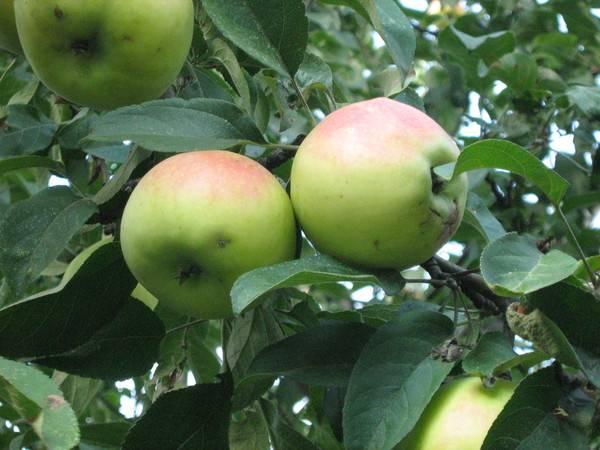 Раскидистая яблоня – сорт Зеленка сочная