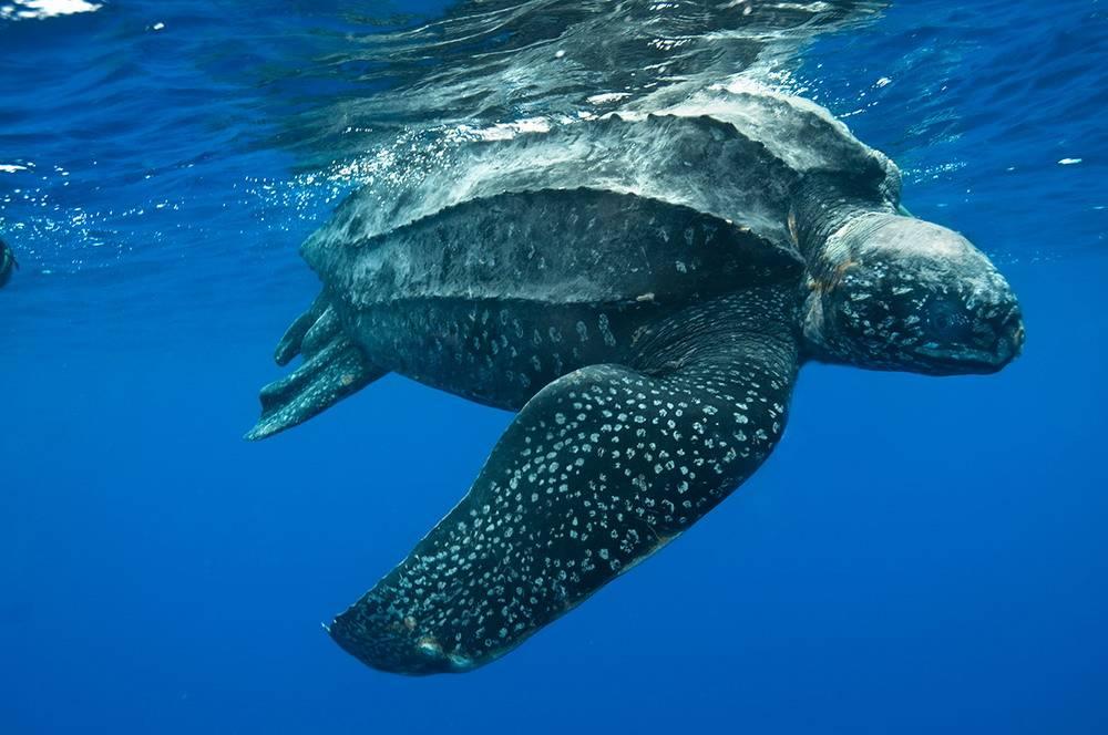 Самая большая черепаха в мире фото (Кожистая черепаха Dermochelys coriacea)