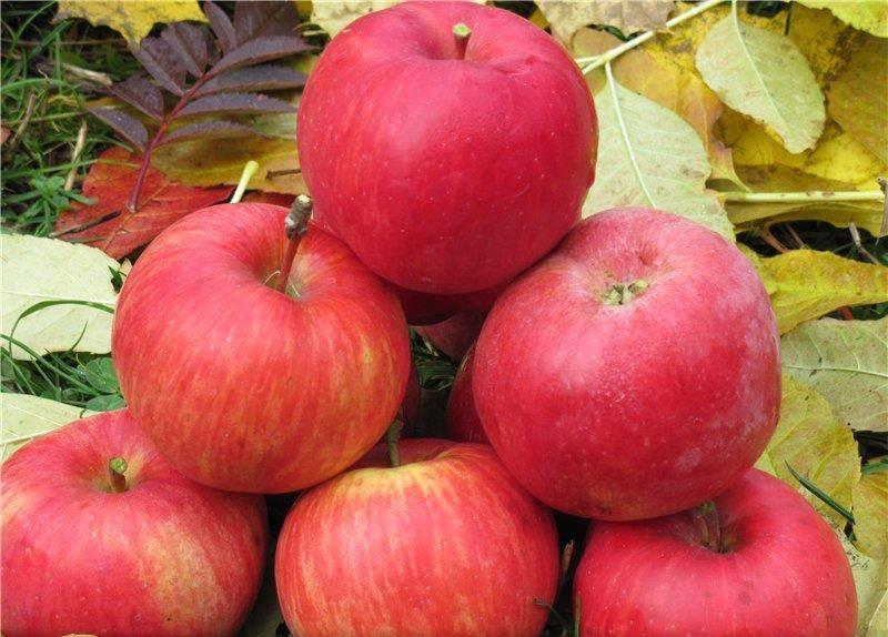 Скороплодный сорт яблони Бефорест