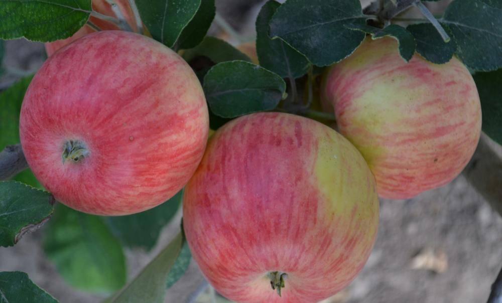Скороплодный сорт яблони Старк Эрлиест