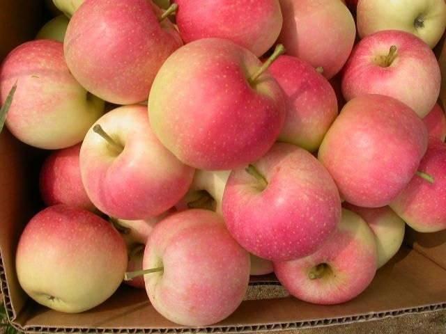 Сладкий сорт яблони Гала