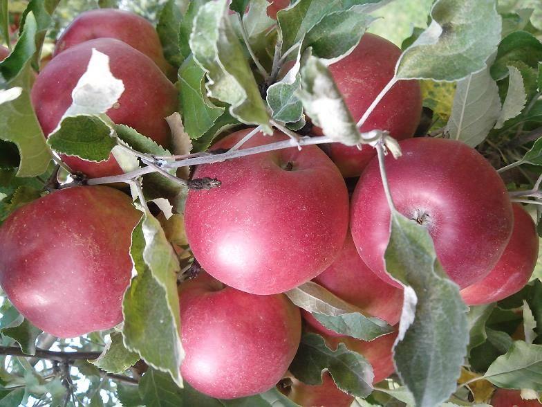 Сладкий сорт яблони Джонатан