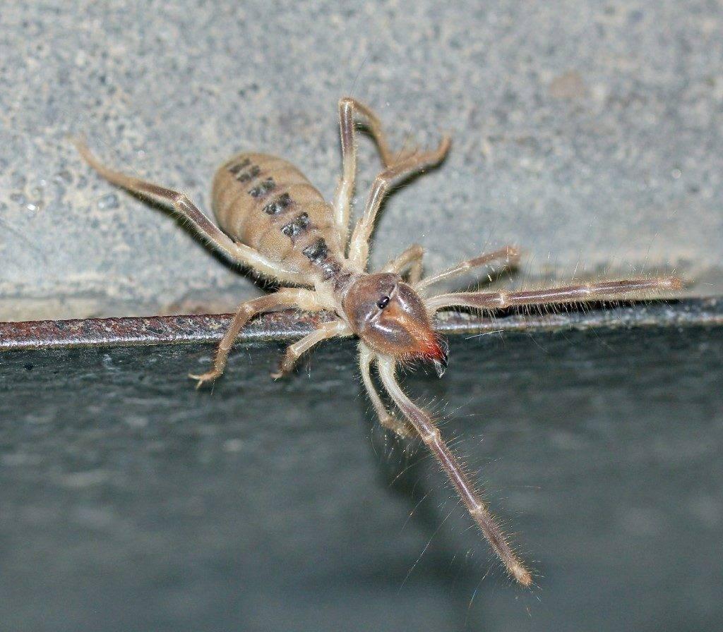 Сольпуга закаспийская Galeodes caspius фото