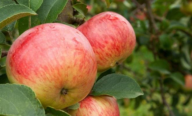 Сорт яблони Боровинка