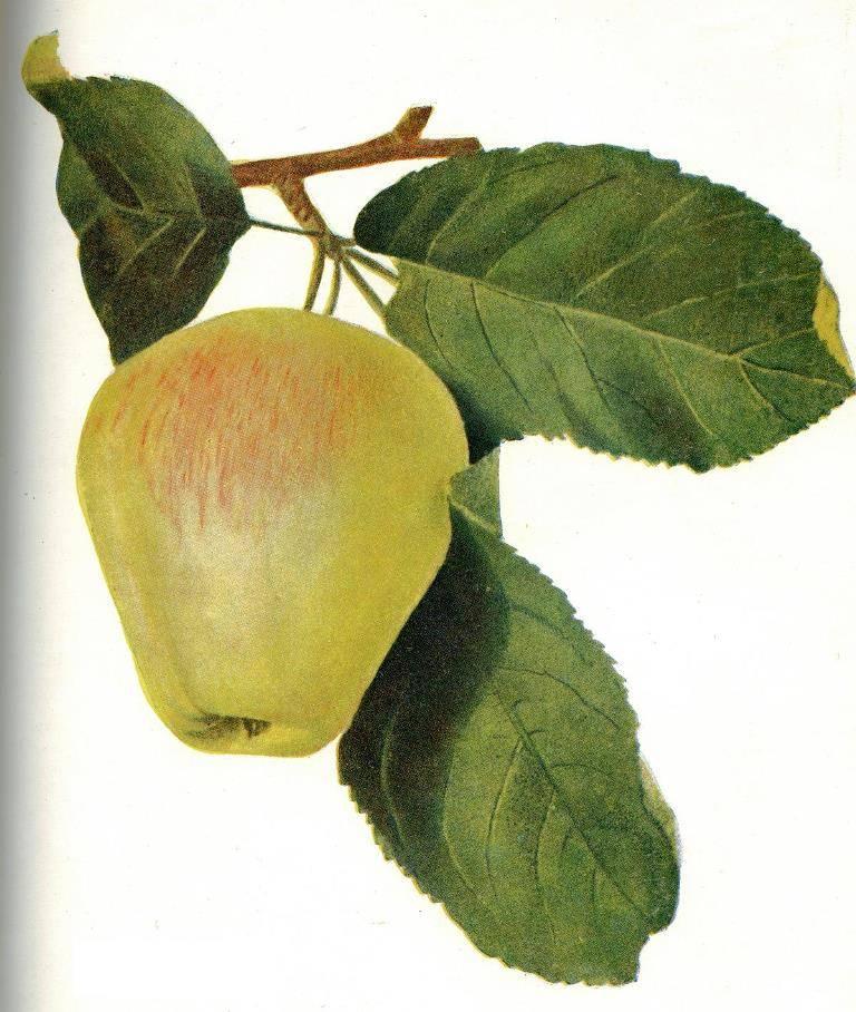 Сорт яблони Восковое