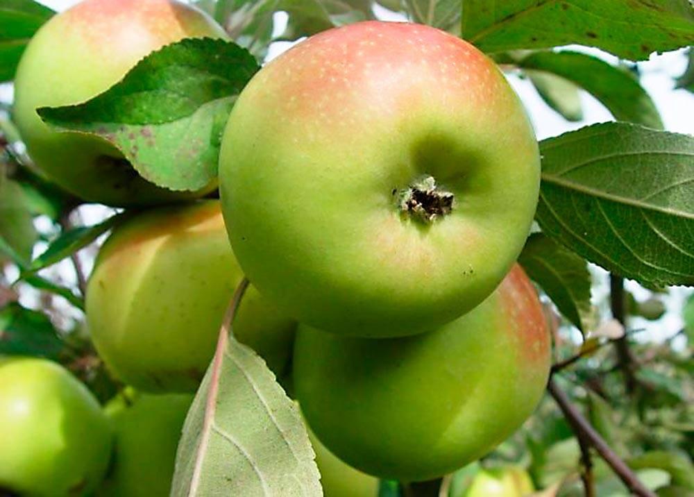 Сорт яблони Зарянка