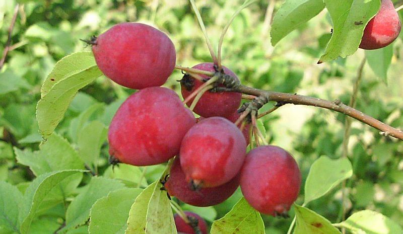 Сорт яблони Китайка санинская