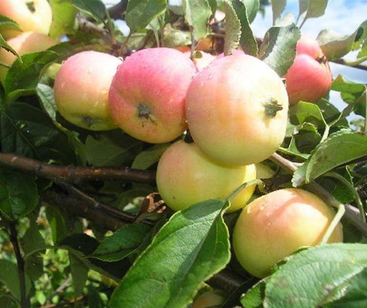 Сорт яблони Павлуша