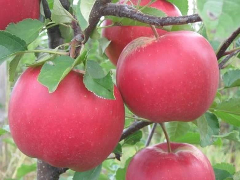Сорт яблони среднего размера Лойко
