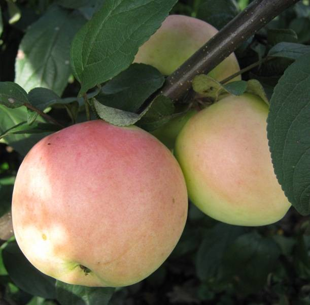 Среднезимостойкий сорт яблони Бархатное