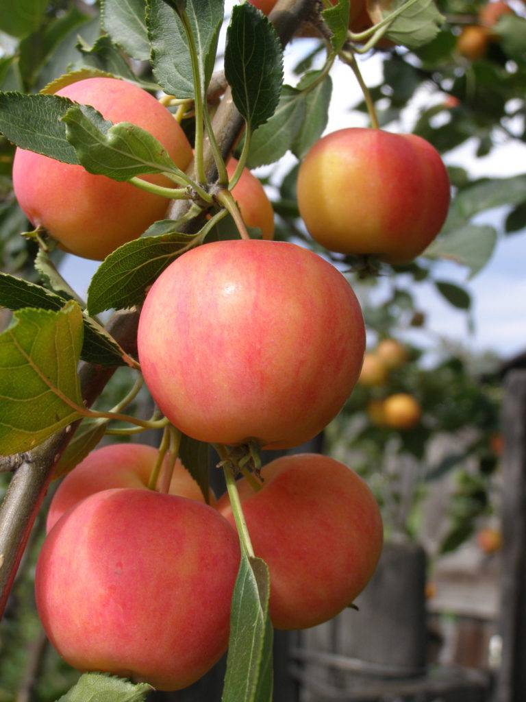 Среднезимостойкий сорт яблони Зоренька