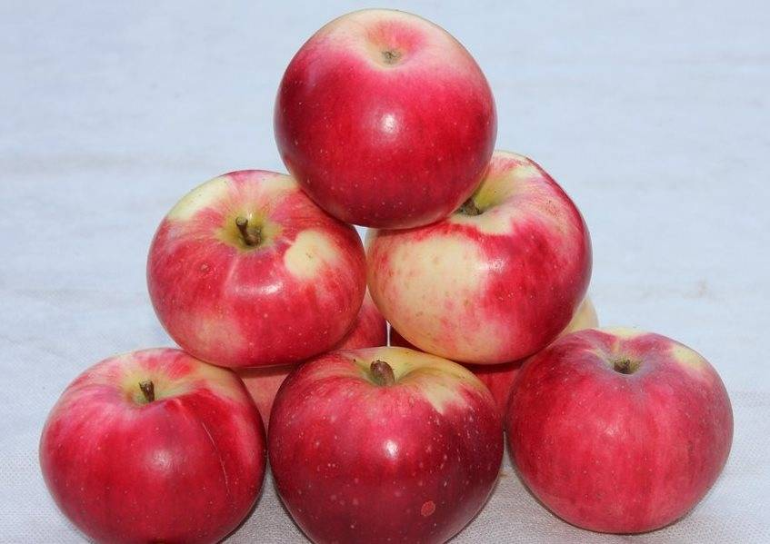 Среднеплодный сорт яблони Апорт Александр