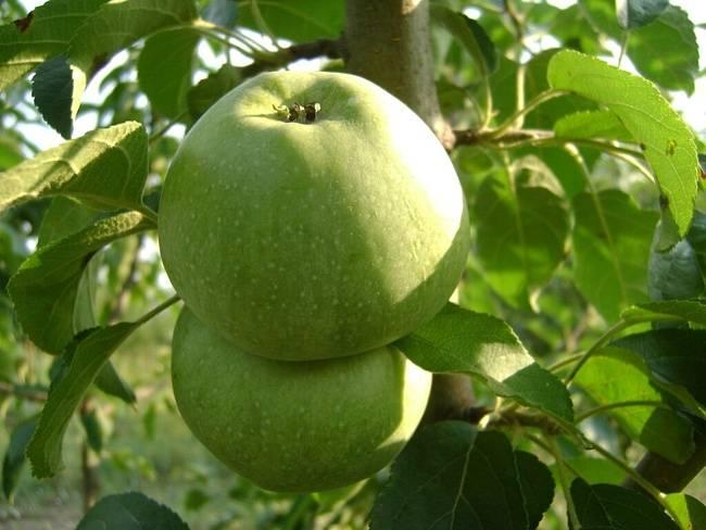 Среднеплодный сорт яблони Кутузовец