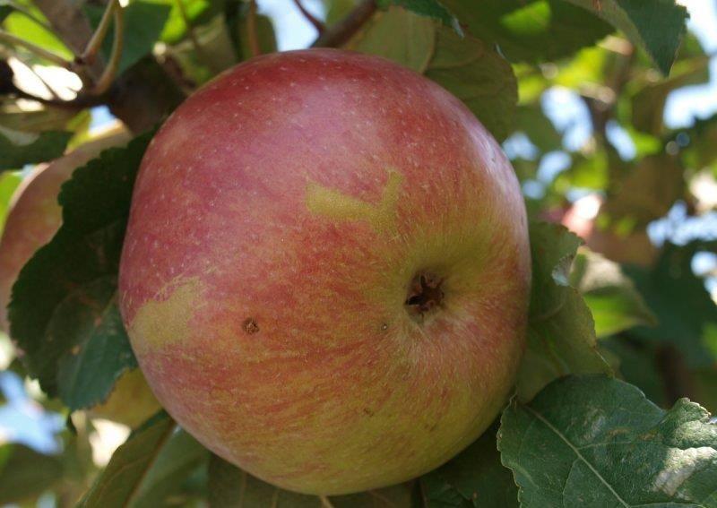 Среднеплодный сорт яблони Тамбовское