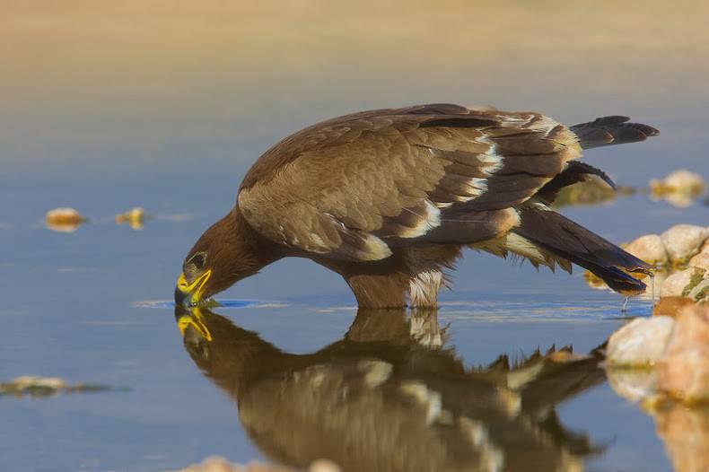 Степной орел Aquila nipalensis