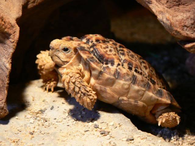 Сухопутная черепаха фото (Homopus signatus)