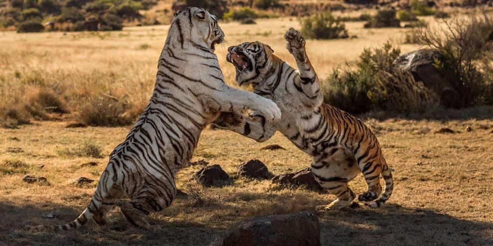 Тигры дерутся фото
